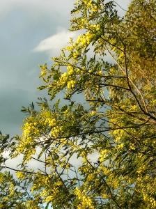 April-blooming Deane's wattle