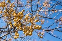 Berries on a melia tree