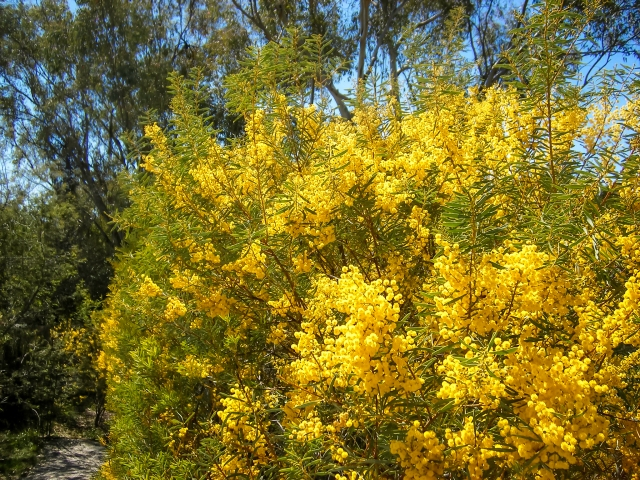Acacia decora hedge
