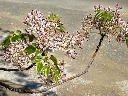 Blooms of Melia azedarach