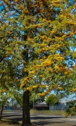 Silky oak trees in full bloom