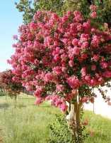 Crepe myrtle shrubs