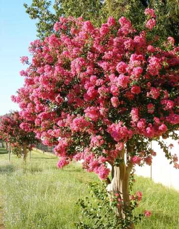 Crepe myrtle shrubs