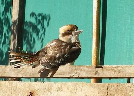Photo of a baby Kookaburra