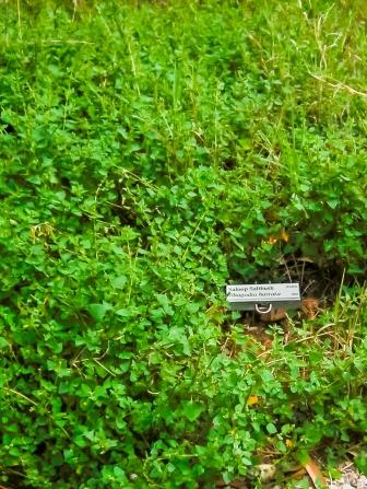 Photo of labelled Saloop saltbush