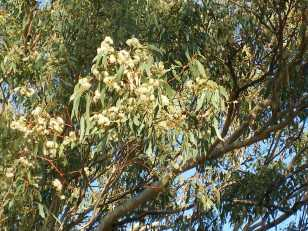 Photo of eucalyptus tree