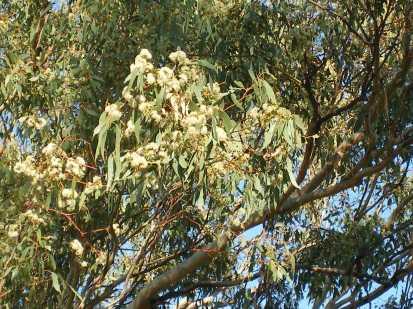 Photo of eucalyptus tree