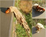 Photo of a case moth