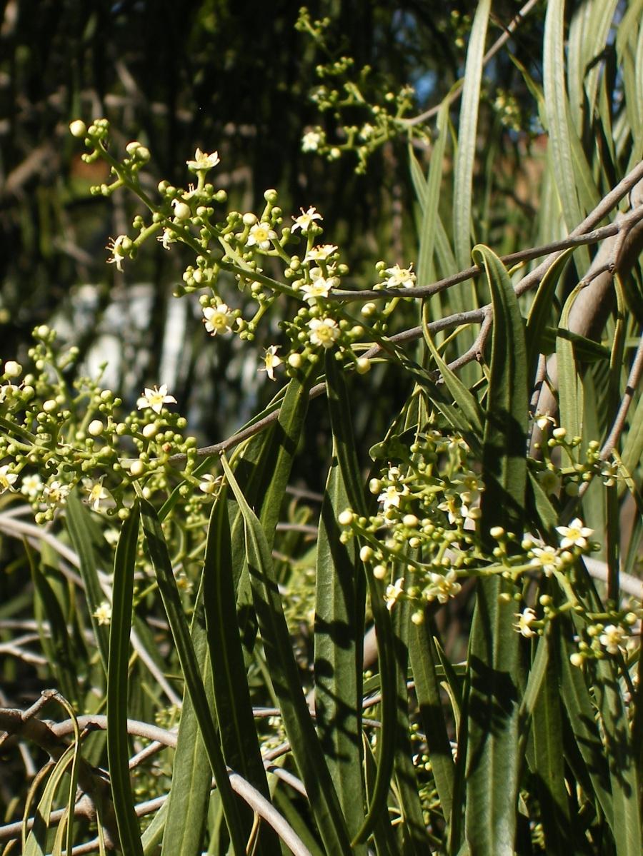Photo of the tiny blossoms of the Wilga, an Australian shrub