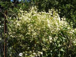 Photo of native clematis