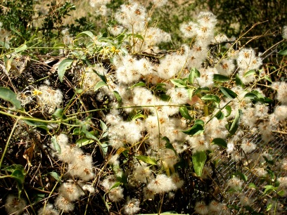 Photo of seeding clematis
