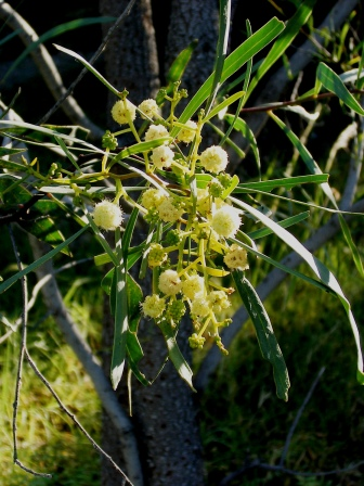 Photo of cooba blossom
