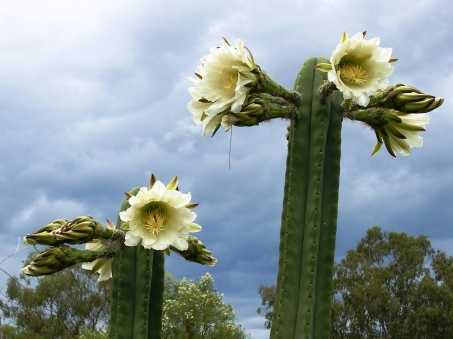 Photo of San Pedro cactus blooming