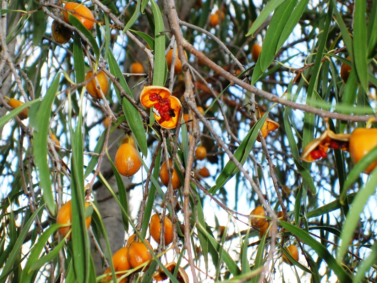 Photo of Pittosporum berries
