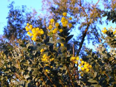 Photo of knife-leaf wattle blooms