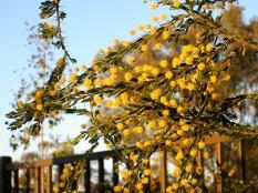 Blooms of Acacia paradoxa