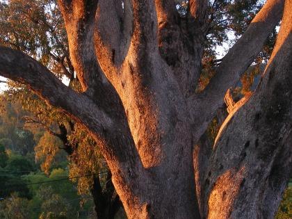 Photo of the bark of a Eucalyptus tree