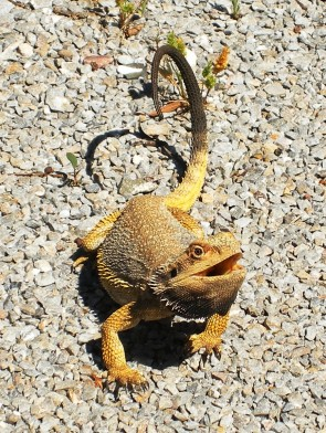 Photo of a yellow dragon lizard