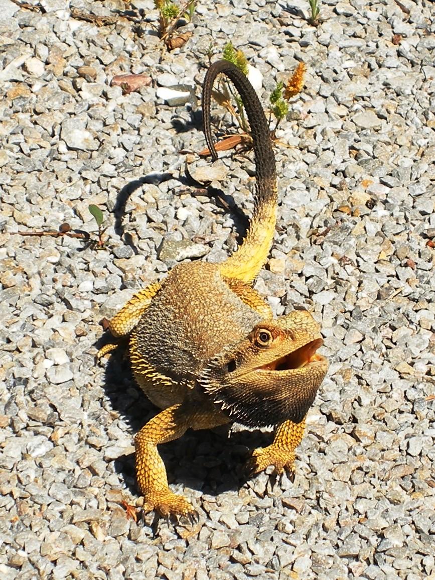Photo of a yellow dragon lizard