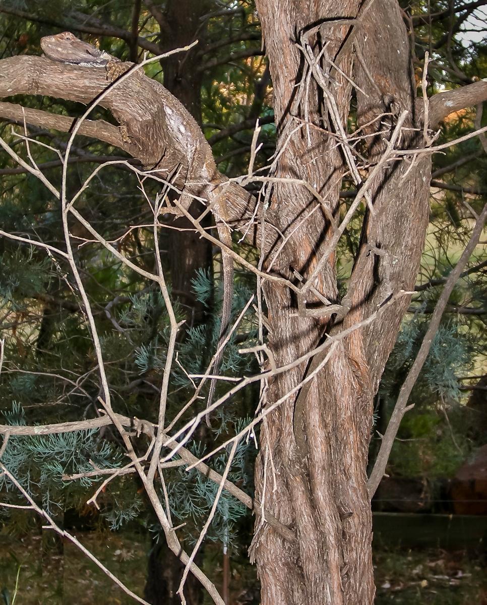 A bearded dragon camouflaged on a bush