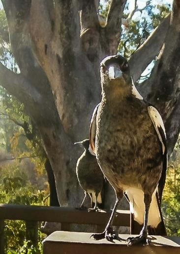 Close-up Australian magpie