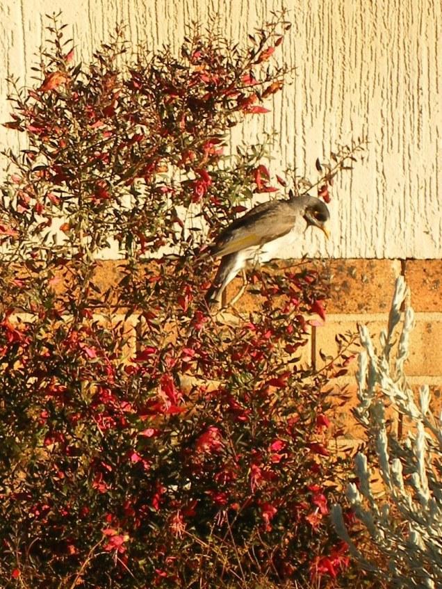 Photo of a honey-eater feeding