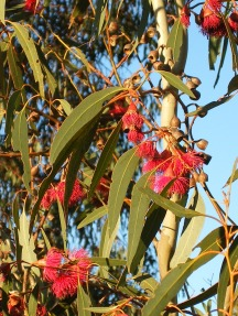 Photo of red Eucalyptus flowers
