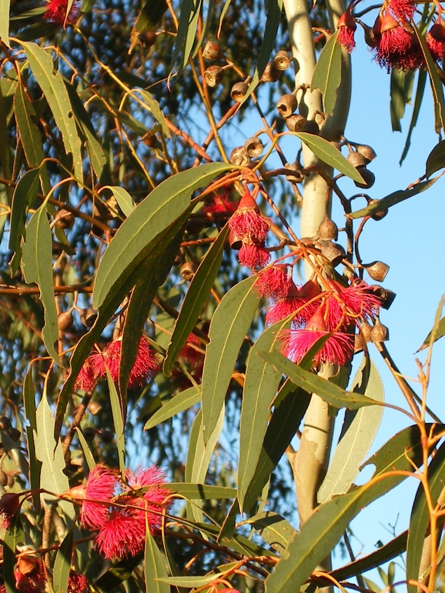 Photo of red Eucalyptus flowers