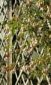 Trellised vine photo