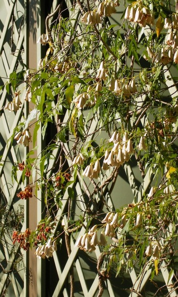 Trellised vine photo