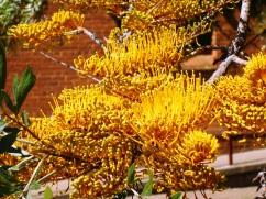 Grevillea robusta flowers