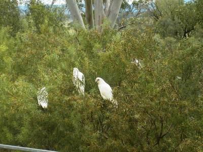 Cockatoos feeding in a wattle