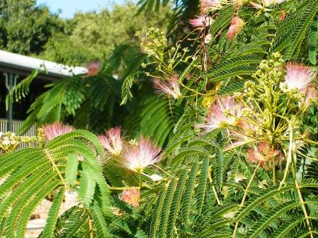 Photo of a Persian silk tree at Manilla NSW
