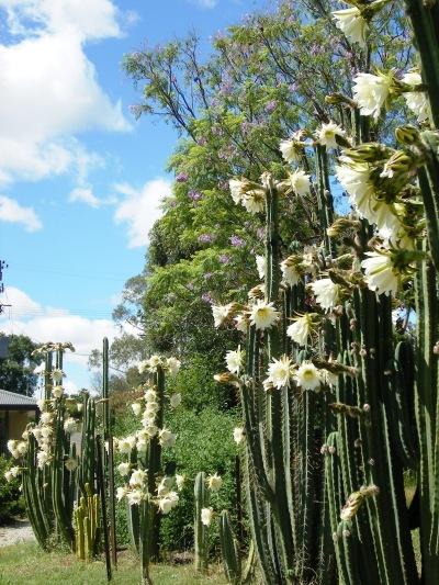 Blooms of San Pedro Cactus at Manilla NSW