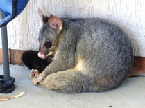 Brushtail possum resting