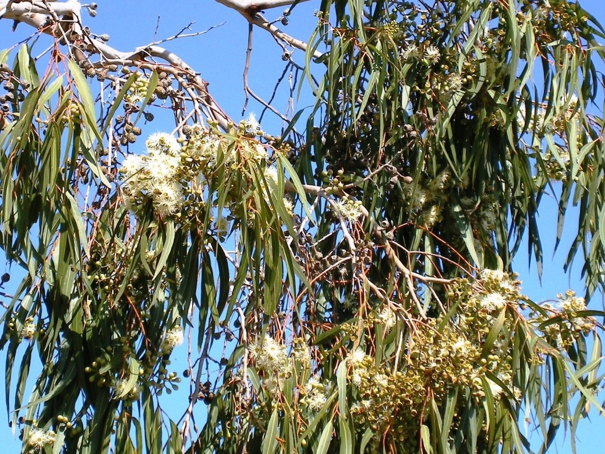 Gum nuts and blossoms