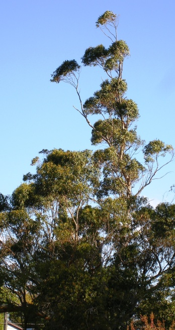 A gum-tree blowing in the wind