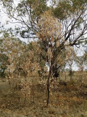 Eucalypts dying in drought