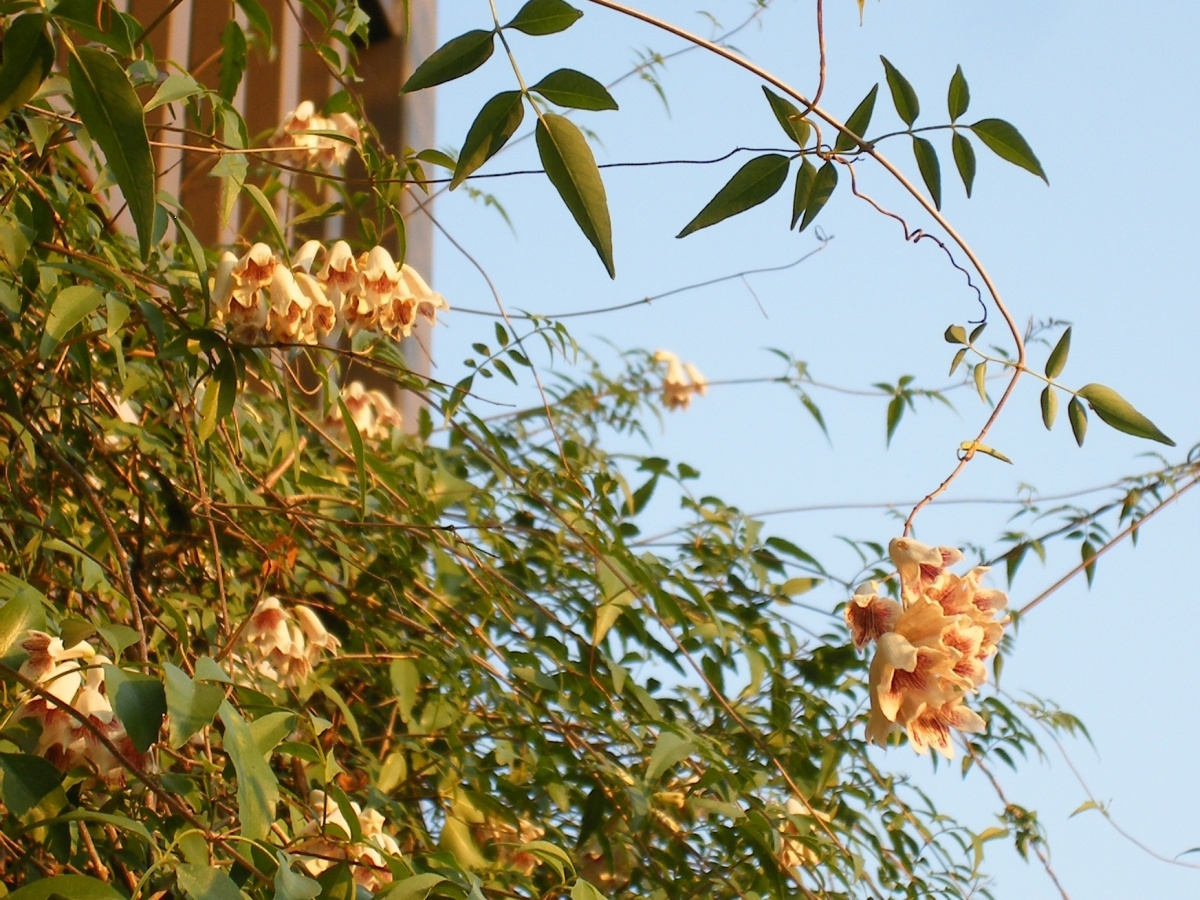 Native vine blossoms