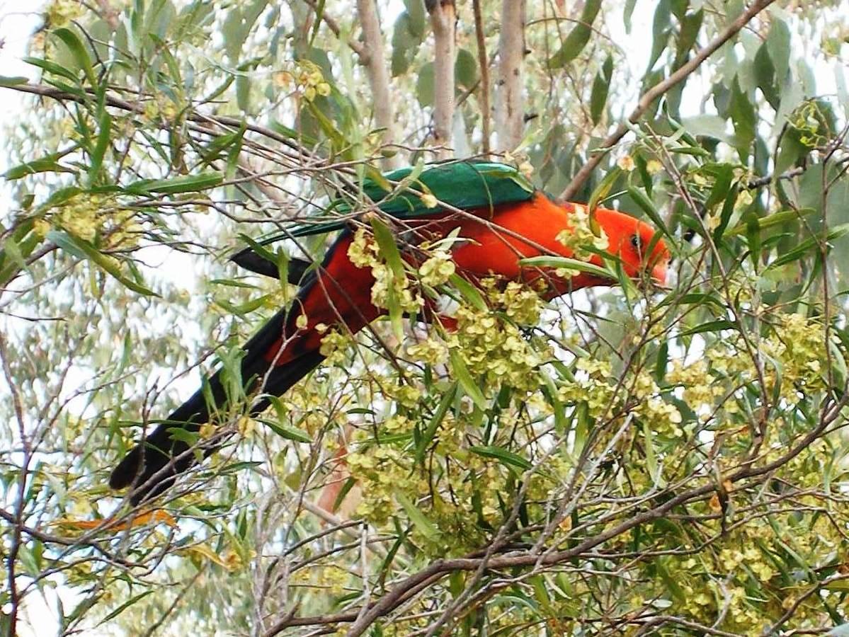 A King Parrot feeding in a Hopbush