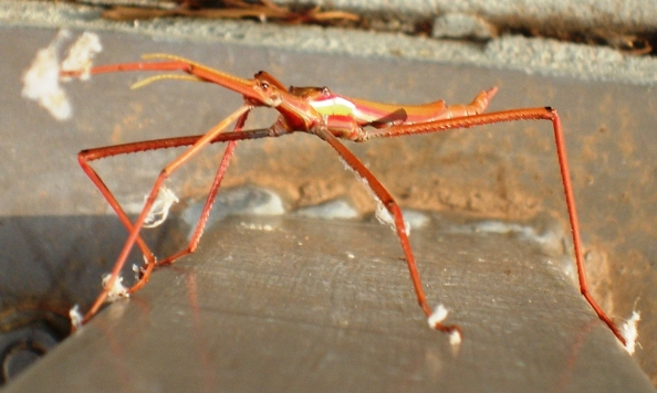 Tropidoderus stick insect