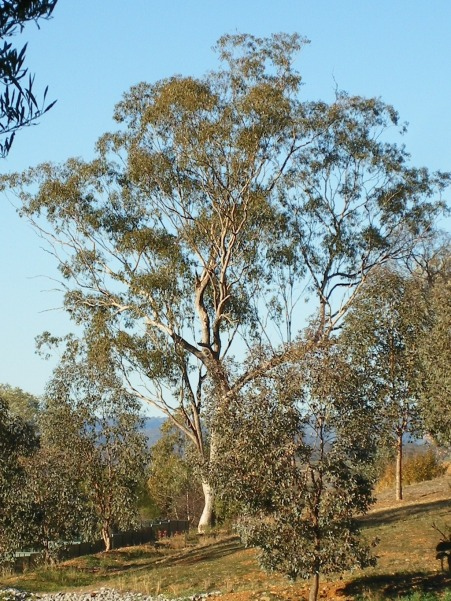 White box eucalyptus tree