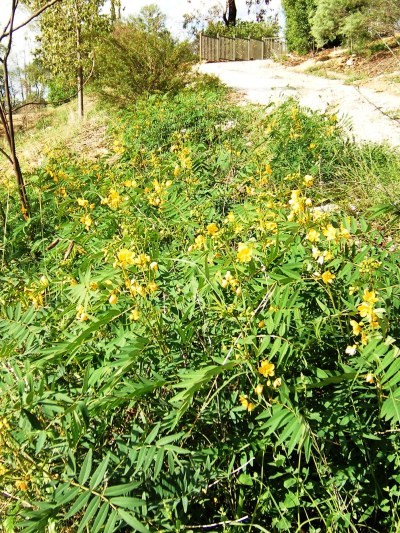 Sef-sown senna plants